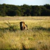 Ogromny Kalahari samiec lew Obrazy Stock