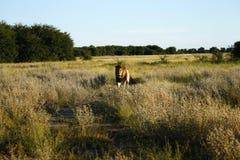 Ogromny Kalahari samiec lew Zdjęcie Stock