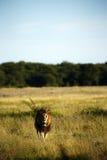 Ogromny Kalahari samiec lew Zdjęcia Royalty Free