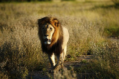 Ogromny Kalahari samiec lew Fotografia Royalty Free