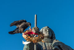 Ogromny kruka zrywanie kwitnie od wianku, Nuuk, Greenland obraz royalty free