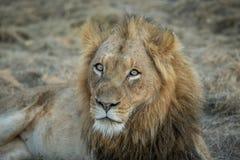 Ogromny męski lwa grać główna rolę Fotografia Stock