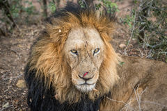 Ogromny męski lwa grać główna rolę Zdjęcie Royalty Free