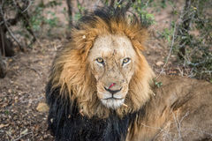 Ogromny męski lwa grać główna rolę Fotografia Royalty Free