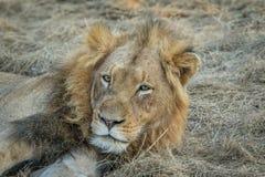 Ogromny męski lwa grać główna rolę Obraz Stock