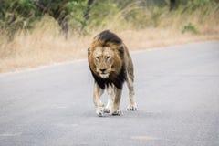 Ogromny męski lwa odprowadzenie w kierunku kamery Zdjęcie Stock