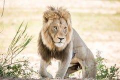 Ogromny męski lwa odprowadzenie w kierunku kamery Fotografia Stock