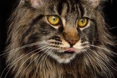 Ogromny Maine Coon kot Odizolowywający na Czarnym tle Zdjęcia Royalty Free
