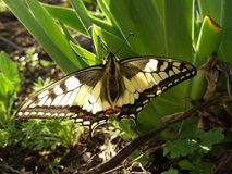 Ogromny motyl na zielonym badylu ostrze trawa Zdjęcie Royalty Free