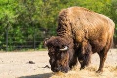 Ogromny owłosiony żubr Rogaty bizon Bawoli łasowania siano Jeden żubr Zdjęcie Royalty Free