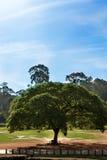 Ogromny parasolowy drzewo zdjęcia royalty free