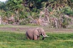Ogromny słoń w bagnie Amboseli, Kenja Obraz Stock