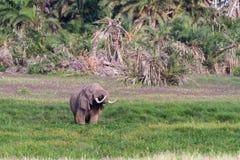 Ogromny słoń w bagnie Amboseli, Kenja africa Fotografia Royalty Free