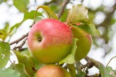 Ogromny, soczysty, bardzo różowy i smakowity Apple na gałąź zdjęcia royalty free