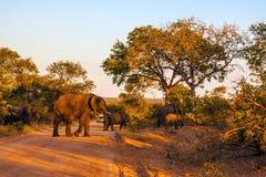 Ogromny stado słonie Zdjęcia Royalty Free