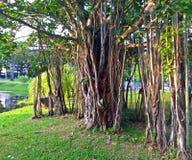 Ogromny stary dusiciel figi drzewo Zdjęcie Royalty Free