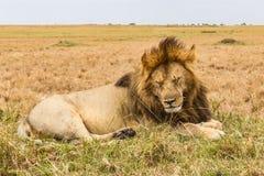 Ogromny sypialny lew na wzgórzu Sawanna Masai Mara, Kenja Obrazy Stock