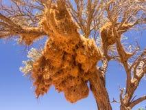 Ogromny tkacza ptaka gniazdeczko w Namibia, Afryka Zdjęcia Stock