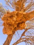 Ogromny tkacza ptaka gniazdeczko w Namibia, Afryka Zdjęcie Stock