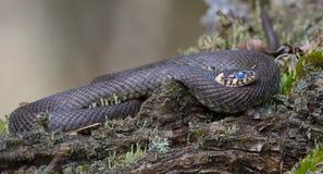 Ogromny trawa węża kłaść upierścieniony na drzewnym liszaju zakrywał karpę podczas gdy ono molts z błękit barwiącym ok zdjęcie royalty free