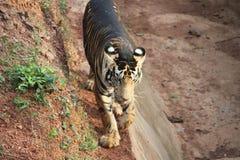 Ogromny tygrysi odprowadzenie w zoo zdjęcia stock