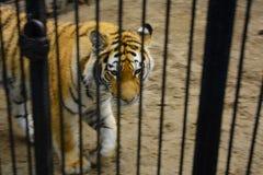 Ogromny tygrysi spojrzenie przez klatkę w górę zdjęcia stock