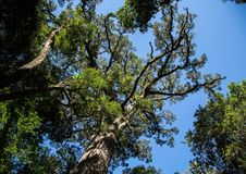 Ogromny Yellowwood drzewo blisko Wydrowego śladu przy Wschodnim przylądkiem Południowa Afryka Obrazy Royalty Free