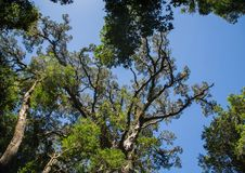 Ogromny Yellowwood drzewo blisko Wydrowego śladu przy Wschodnim przylądkiem Południowa Afryka Fotografia Royalty Free