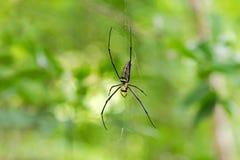 Ogromny Złoty Jedwabniczy okręgu tkacza pająka obwieszenie od swój sieci Zdjęcia Stock