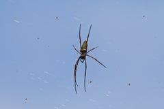 Ogromny Złoty Jedwabniczy okręgu tkacza pająka obwieszenie od swój sieci z oth Zdjęcie Stock