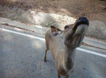 oh дорогой (олени) Стоковая Фотография