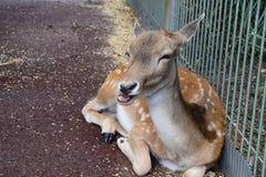 Oh cerfs communs Photographie stock libre de droits