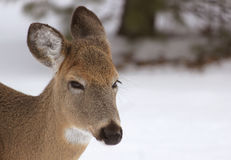 Oh, cervos Imagem de Stock Royalty Free