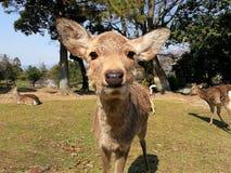 Oh cervos! Fotografia de Stock