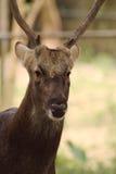 Oh cervos Fotografia de Stock Royalty Free