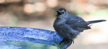 Oh that is cold- Catbird Stock Photo