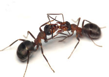 Oh, darling! two ants Royalty Free Stock Photo
