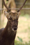 Oh Deer. A Swamp Deer (barasingha in Hindu) standing still will a focus stare at the visitors in Malaysian National Zoo (Zoo Negara Royalty Free Stock Photography