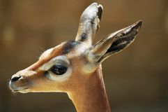 Oh deer. Baby gerenuk Stock Photo
