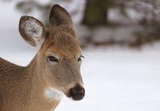 Oh, deer. Close up of female deer in winter Royalty Free Stock Image