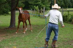 Oh, the differences in age. Old cowboy breaks a young horse Stock Images