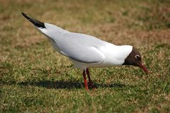 Oh Dinner. Gull looking for food in Larne Norther Ireland, birds wildlife nature stock photo