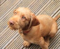 Oh go on!. A wirehaired hungarian Vizsla puppy Royalty Free Stock Image