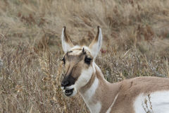 Oh Hey.. right here. Pronghorn on the prairie chewing Royalty Free Stock Photo