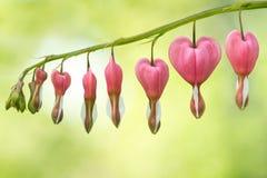 Oh mis corazones sangrantes Fotografía de archivo libre de regalías