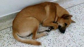 Oh mon chienchien doux de bébé dormant avec admirablement Image stock