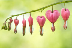 Oh My Bleeding Hearts. Group of Bleeding Heart Flowers Against Blurred Green and Yellow Background Royalty Free Stock Photography
