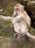 Oh no monkey royalty free stock photos