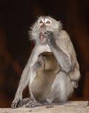 Oh no monkey Royalty Free Stock Photography