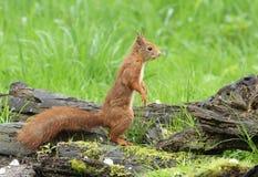 Oh viene uno che potete ` t essere questo piccolo scoiattolo rosso sveglio Fotografia Stock